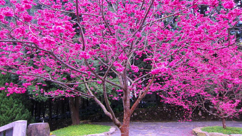 436020__blooming-sakura-tree-for-dear-plume_p.jpg