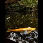 JAPAN-DAILYLIFE-REUTERS-Thomas-Peter-koi-fish