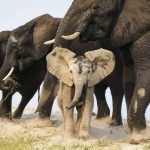 a-baby-elephant-disguised-in-sand-pokes-through-a-line-of-elephants-that-had-just-crossed-the-chobe-river-in-botswana-africa-on-a