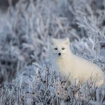 an-arctic-fox-in-the-frozen-willows-of-churchill-manitoba-canada