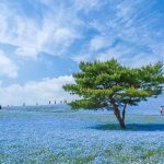 in-hitachi-seaside-park-in-ibaraki-prefecture-japan-youll-find-45-million-of-these-baby-blue-flowers-the-best-season-to-see-them-