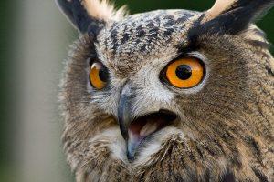 owl_close_up.jpg