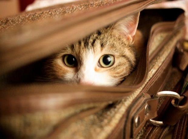 cat-in-a-suitcase-734.jpg