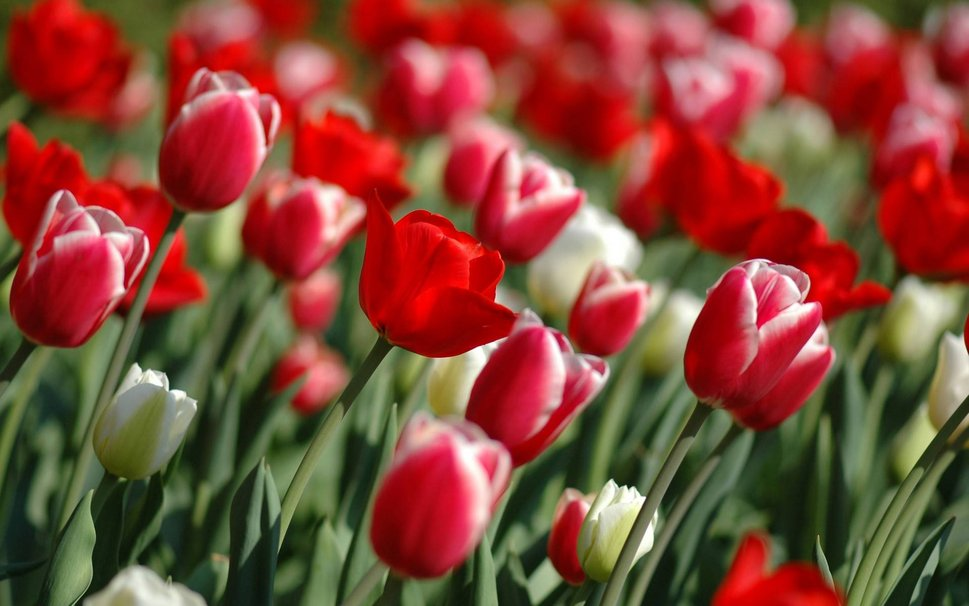 695559__desktop-wallpapers-wallpaper-purple-tulips-backgrounds-background-spring-bright-xhtml-papers_p.jpg