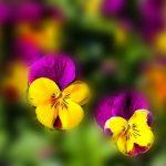 flowers-670192_960_720