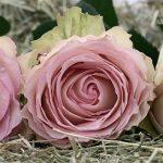 roses-2090840_960_720