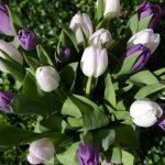 tulips-1301845_960_720