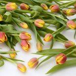 tulips-2101908_960_720