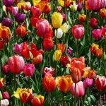 tulips-47399_960_720