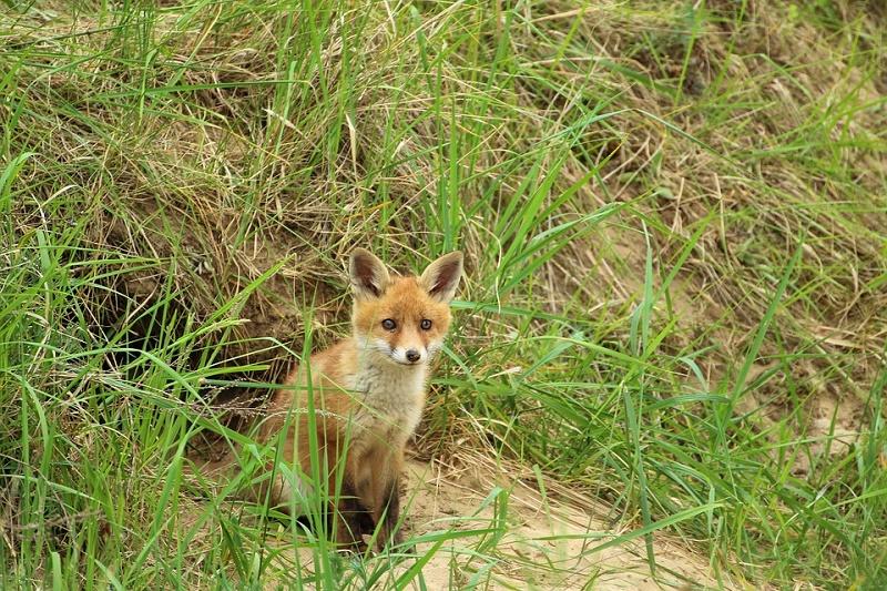 young-fox-1404017_960_720.jpg