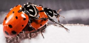 ladybugs-2206962_960_720.jpg