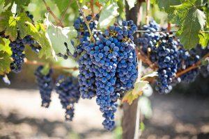purple-grapes-553464_960_720.jpg