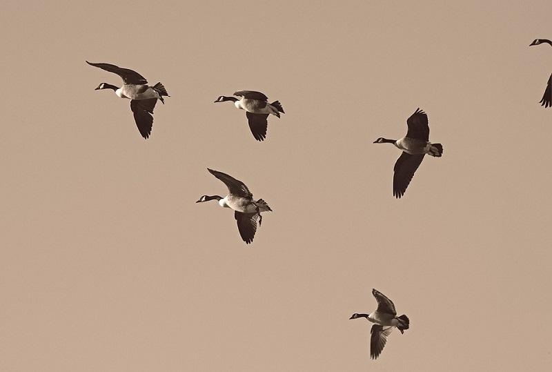 geese-2143952_960_720.jpg