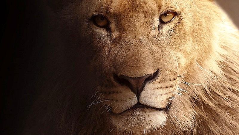 lion-617365_960_720.jpg