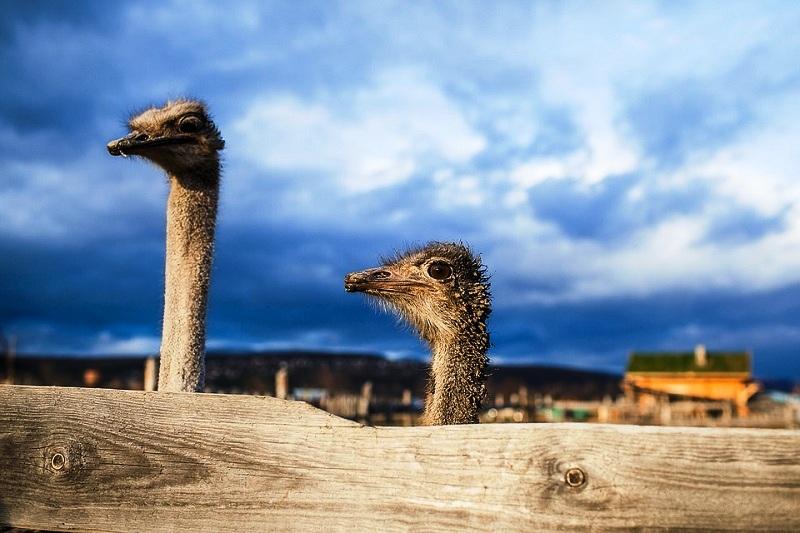 ostrich-1841591_960_720.jpg