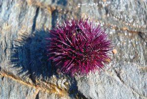 sea-urchin-1536812_960_720.jpg