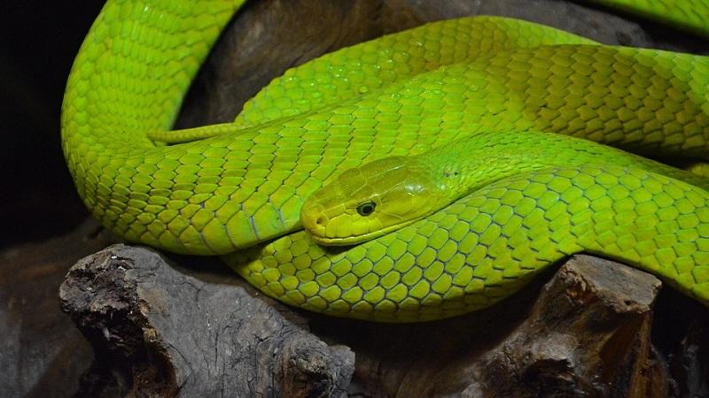 green-mamba-2348952_960_720.jpg