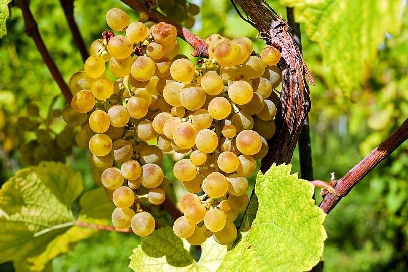 grapes-2715711_960_720.jpg