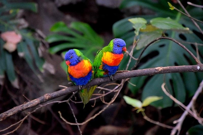parrots-2911077_960_720.jpg