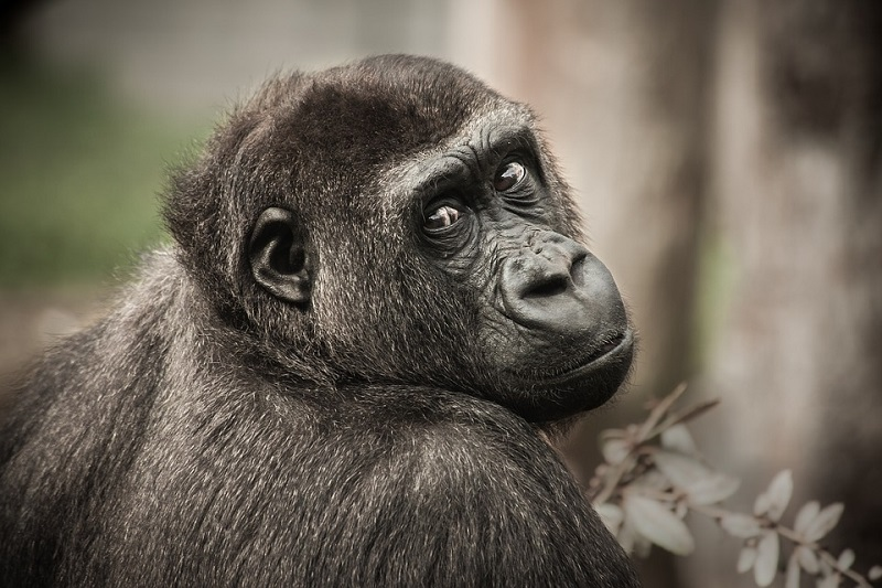 chimpanzee-2586193_960_720.jpg