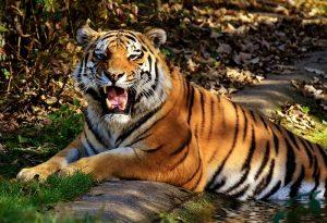 tiger-3039431_960_720.jpg