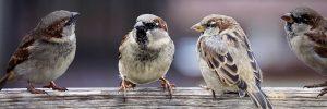 sparrows-2759978_960_720.jpg