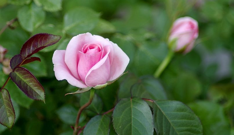 Τριαντάφυλλο, ο βασιλιάς των λουλουδιών - iporta.gr